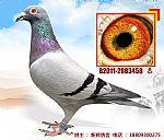 种鸽3458