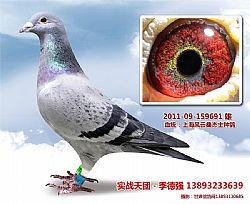 上海风云桑杰士种鸽