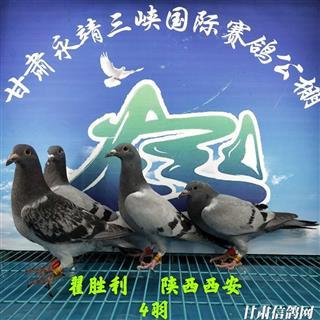 甘肃三峡国际赛鸽公棚4月17日幼鸽入