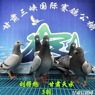 甘肃三峡国际赛鸽公棚4月20日幼鸽入