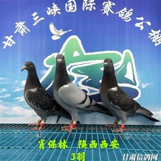 甘肃三峡国际赛鸽公棚5月16日幼鸽入