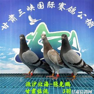 甘肃三峡国际赛鸽公棚5月19日幼鸽入