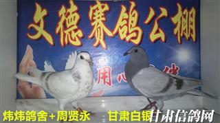 甘肃白银文德赛鸽寄养棚幼鸽入棚照