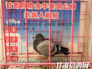 甘肃陇南金华赛鸽公棚幼鸽入棚照片